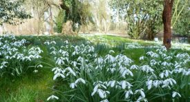 snowdrop walks oxfordshire, waterperry gardens snowdrops