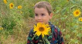 sunflower field Cheshire, Dunham Massey sunflower