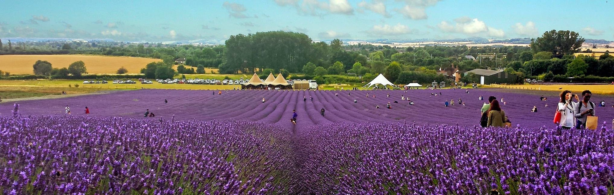 hitchin lavender opening, lavender fields, lavender fields england, lavender field hertfordshire, lavender near bucks, visit lavender fields
