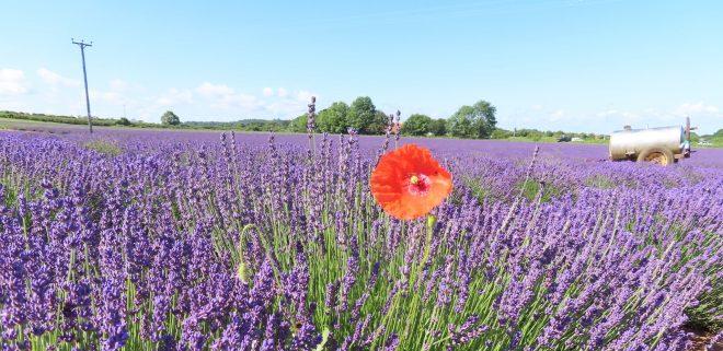 norfolk lavender field, days out with kids norfolk, norfolk summer holiday