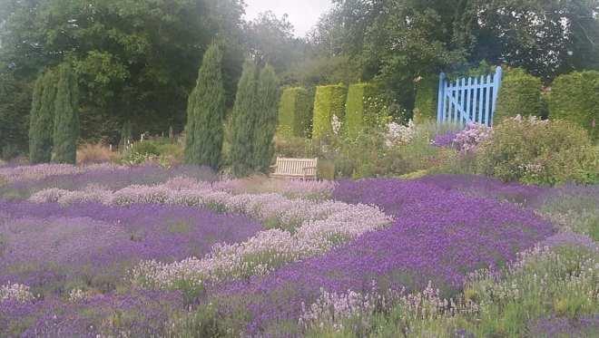 yorkshire lavender fields, lavender fields north england