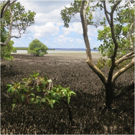 Photograph courtesy Moreton Bay Community MangroveWatch and Seagrass-Watch