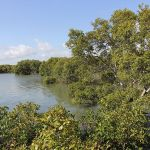 Mangroves near Toondah Harbour