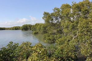 Mangroves south of Toondah Harbour