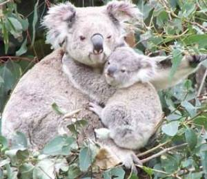 Learn more about koalas