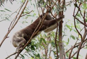 Koala climbing 11 November 231