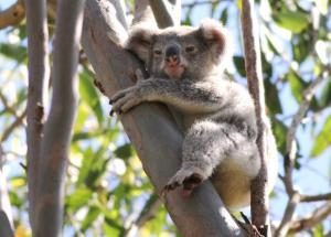 Young koala 19 October 2014 039