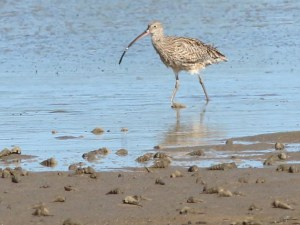 Eastern curlew feeding on site of proposed 400 berth marina