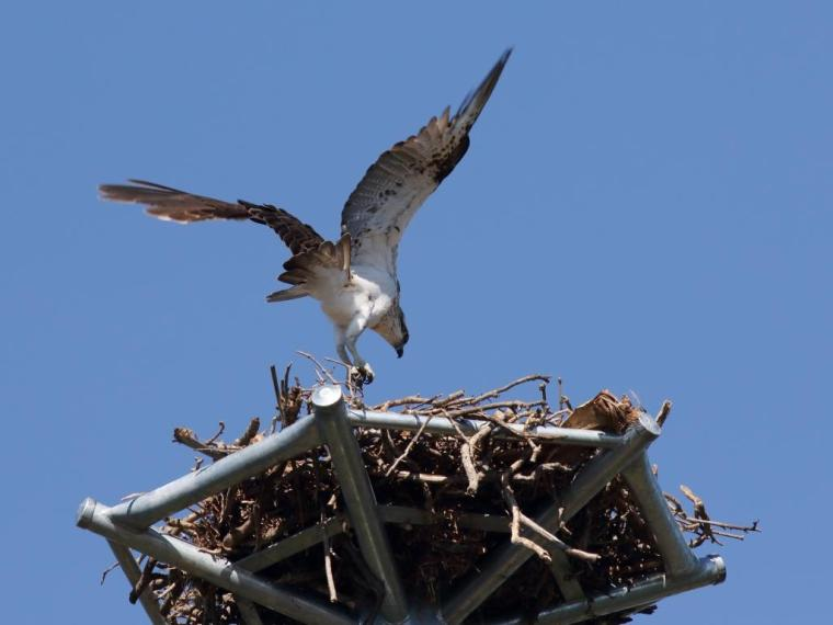 113 Osprey landing at nest Wellington Point 23 April 2015 comp