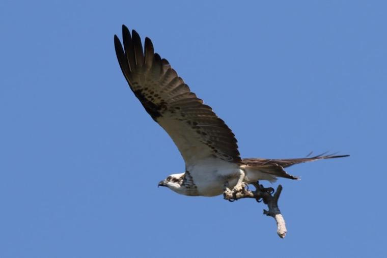 114 Osprey with twig near nest Wellington Point 23 April 2015 comp