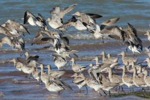 Bar-tailed godwits leaving the roost at Oyster Point near Toondah Harbour