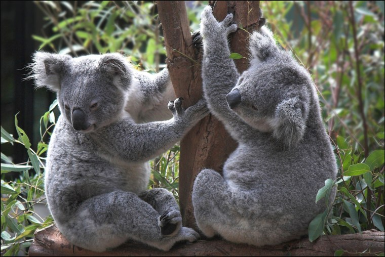 Koalas have declined 50% in Queensland over the past 15-20 years. Mike Locke/Flickr, CC BY-ND