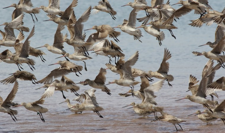 Bar-tailed godwits at Oyster Point in Cleveland are a spectacular attraction for birdwatchers - see them also on video