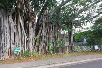 The giant fig tree