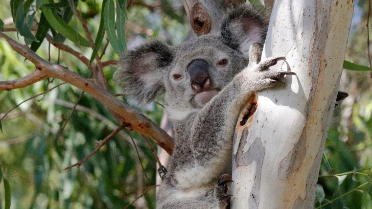 Will the SEQ Regional Plan and its Regulatory Provisions be successful for conserving koalas?