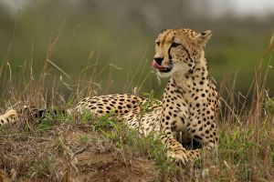 "Cheetah in Africa - Photo: <a href=""https://commons.wikimedia.org/wiki/File:Cheetah_(Acinonyx_jubatus)_female_2.jpg"" target=""_blank"">Sharp Photography</a>"