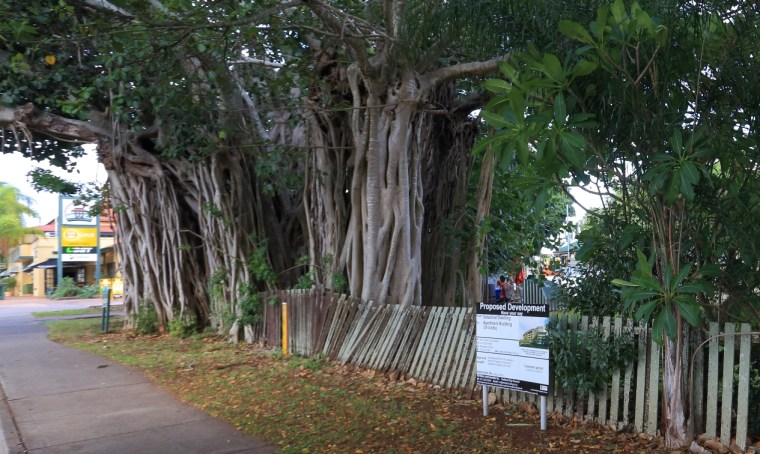 Banyan tree next to the Grand View Hotel