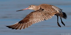 A Bar tailed godwit, one of the threatened migratory birds which inhabits the Toondah wetlands. Photo Chris Walker
