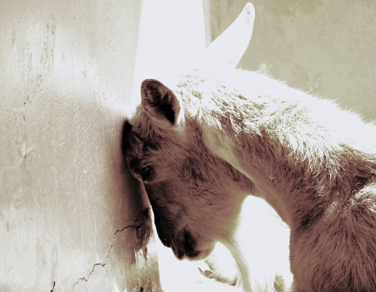 Sad-goat3-e1443061927304