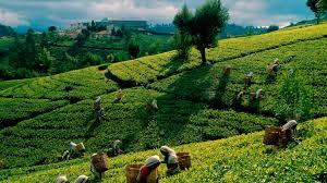 Tea Plantation (Image credit: www.ceylonblacktea.com)