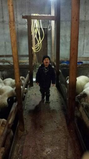 343-sheep-barn