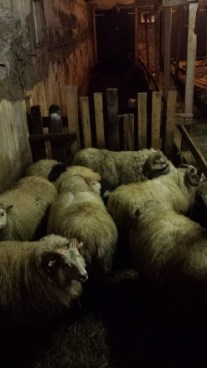 344-sheep-barn
