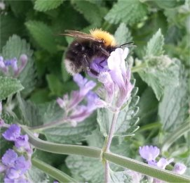 Bee on my Cat Mint