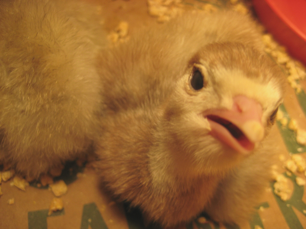 chicks-6