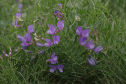 We planted American vetch in 2012, and it is getting well established this year. Blooming in mid- to late May.