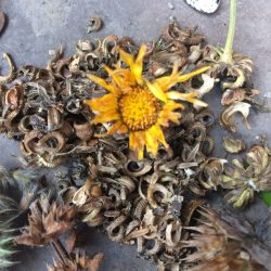 calendula resina organico agroecologia permacultura ecuador