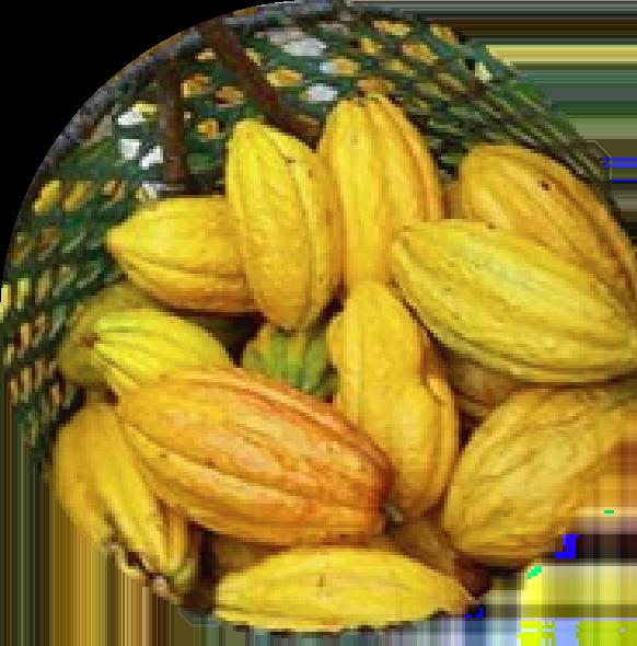 cacao red de guardianes de semillas ecuador