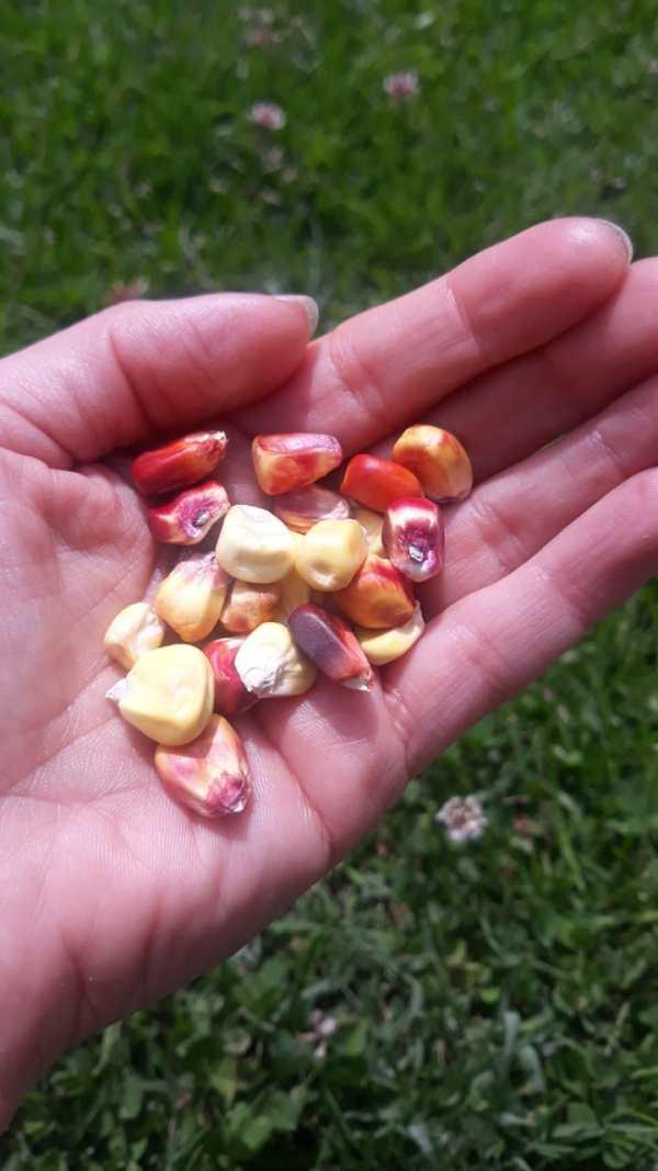 maíz suave de colores red guardianes de semillas ecuador