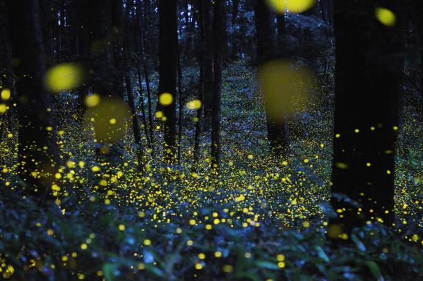 field of fireflies