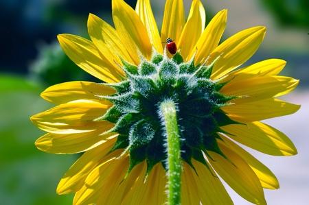 LadybugFlower