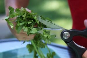 Cuting Cilantro for Homemade Salsa