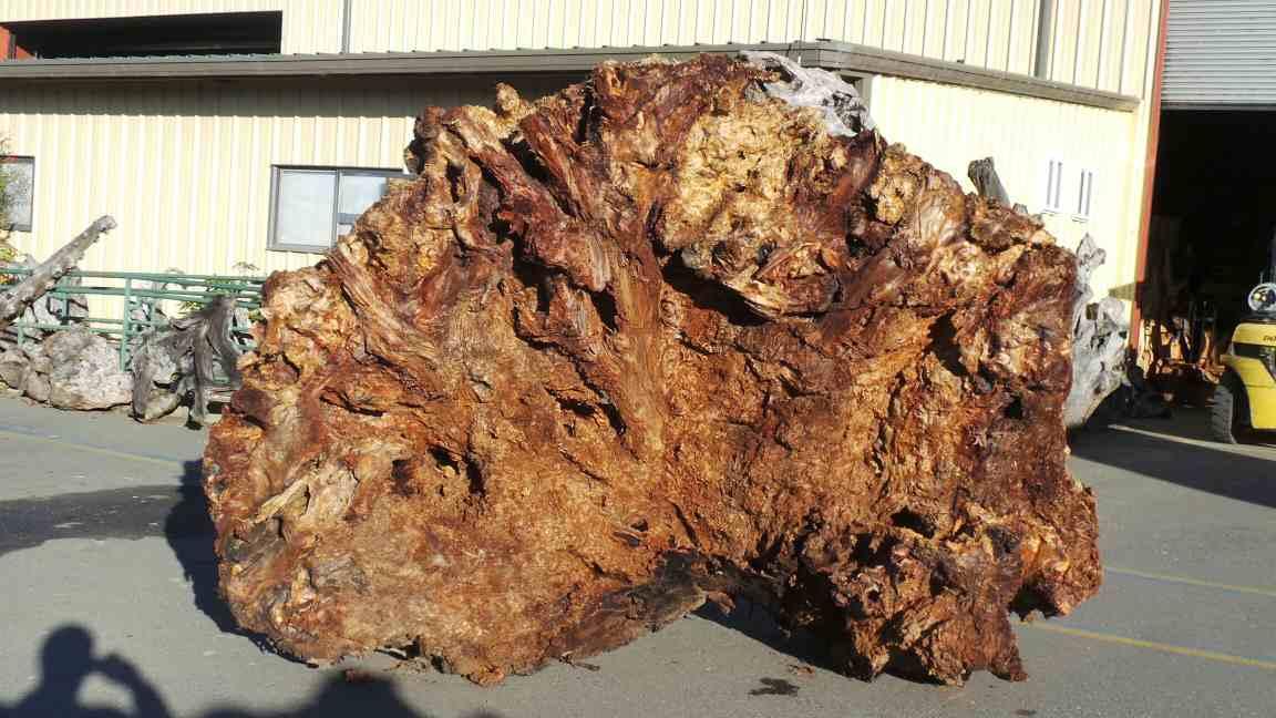 Redwood Root Live Bark Tree Decor