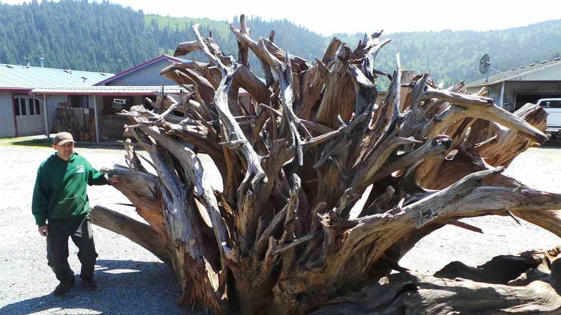 Giant Redwood for Tree Landscape Design Ideas