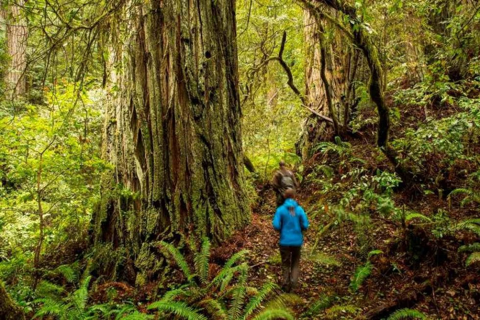 Headwaters Forest - Redwood grove