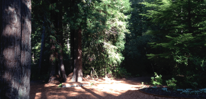 Redwoods at Chez Vrenios