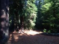 Redwoods in Mendocino