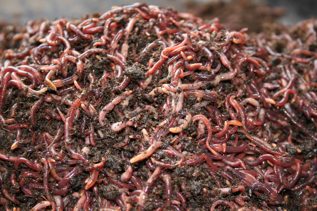 Why You Should Have Redworms In Your Garden