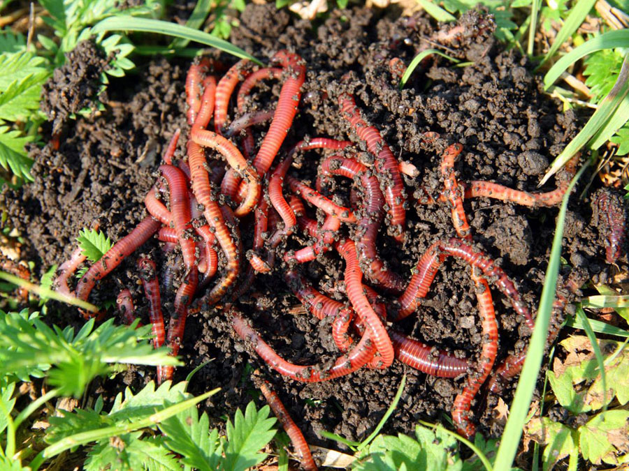 How To Get Started On A Red Worm Composting Project
