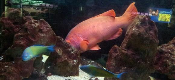 Peixes gigante