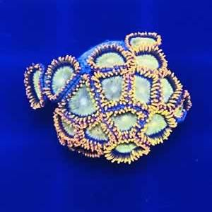 Rare Zoanthids Frags