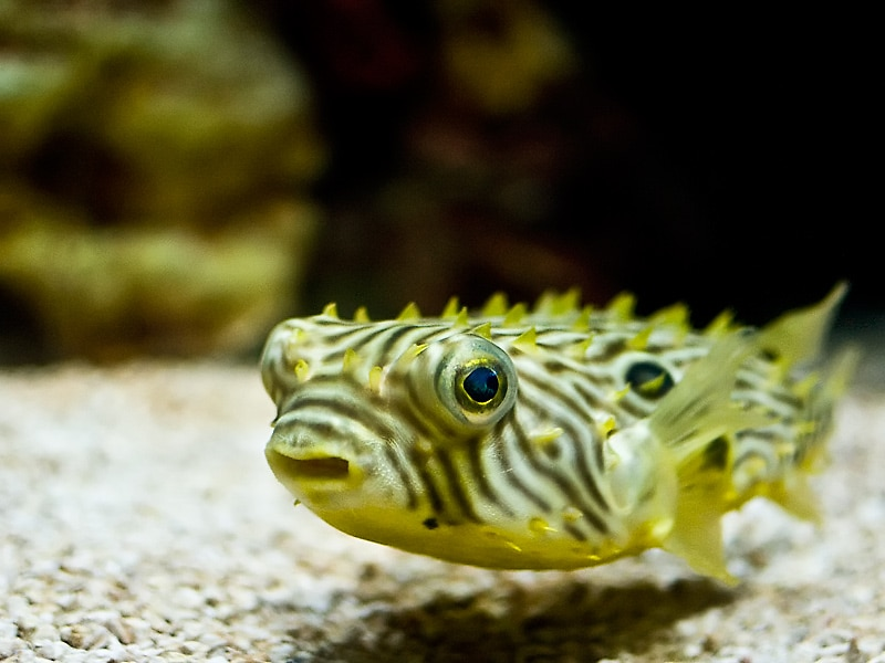 Spiny Puffer