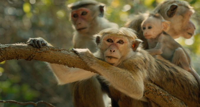 Disney Nature-Monkey Kingdom pic2
