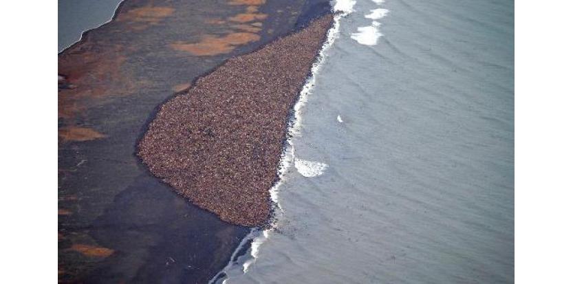 Une vue aérienne d'une plage de Pointe Lay, en Alaska, où 35.000 morses se sont mystérieusement échoués, le 27 septembre 2014 (c) Afp