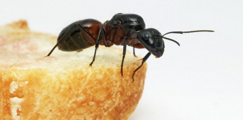 Les fourmis de New-York sont utiles pour nettoyer les rues des déchets mais aussi pour limiter les populations de nuisible.  © François Gilson / Biosphoto / AFP