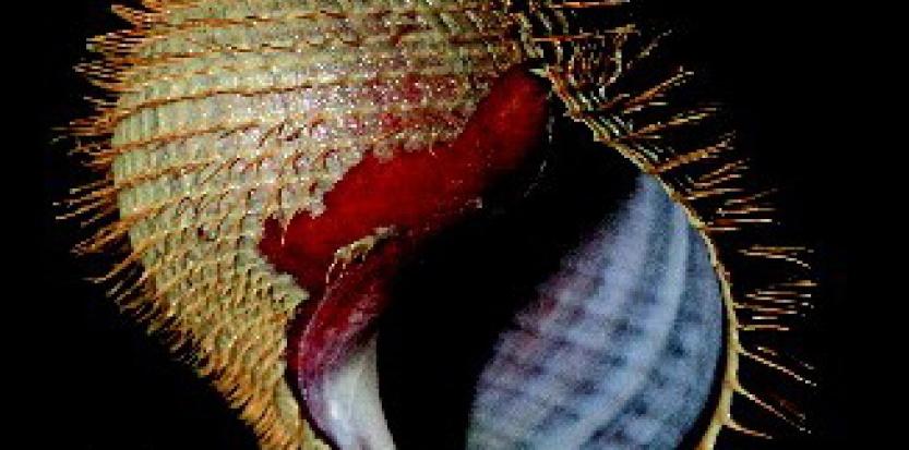 Alviniconcha strummeri a été nommé en référence à Joe Strummer en raison de son apparence et car il vit dans un environnement particulièrement extrême. © Shannon Johnson / Monterey Bay Aquarium Research Institute