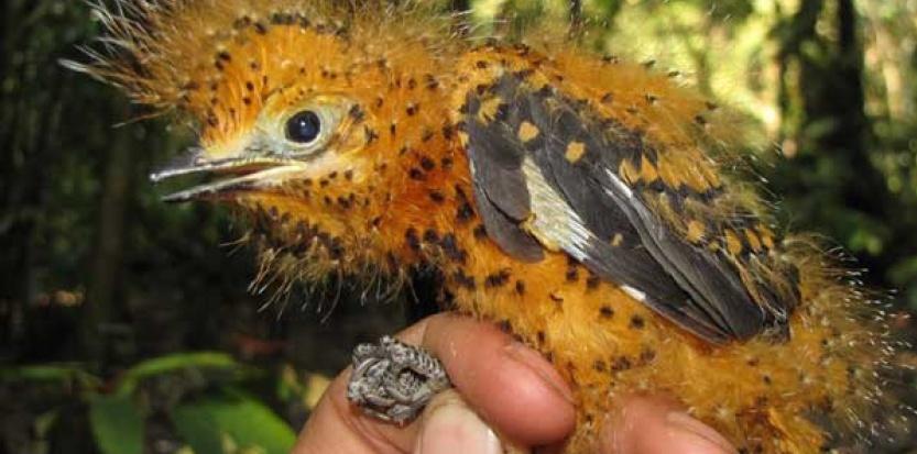 La couleur orange du duvet et son aspect proche du poil permet à l'oisillon de l'Aulia cendré d'imiter une chenille toxique. © Santiago David-Rivera